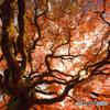 秋晴れに古楓