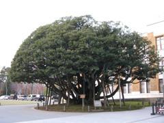 樹齢300年シイノキ