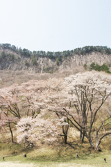 奈良県屏風岩公苑の桜