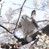 桜の木でピーン