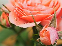 ベランダのお花 桃