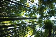 真っすぐ伸びた青緑の竹林