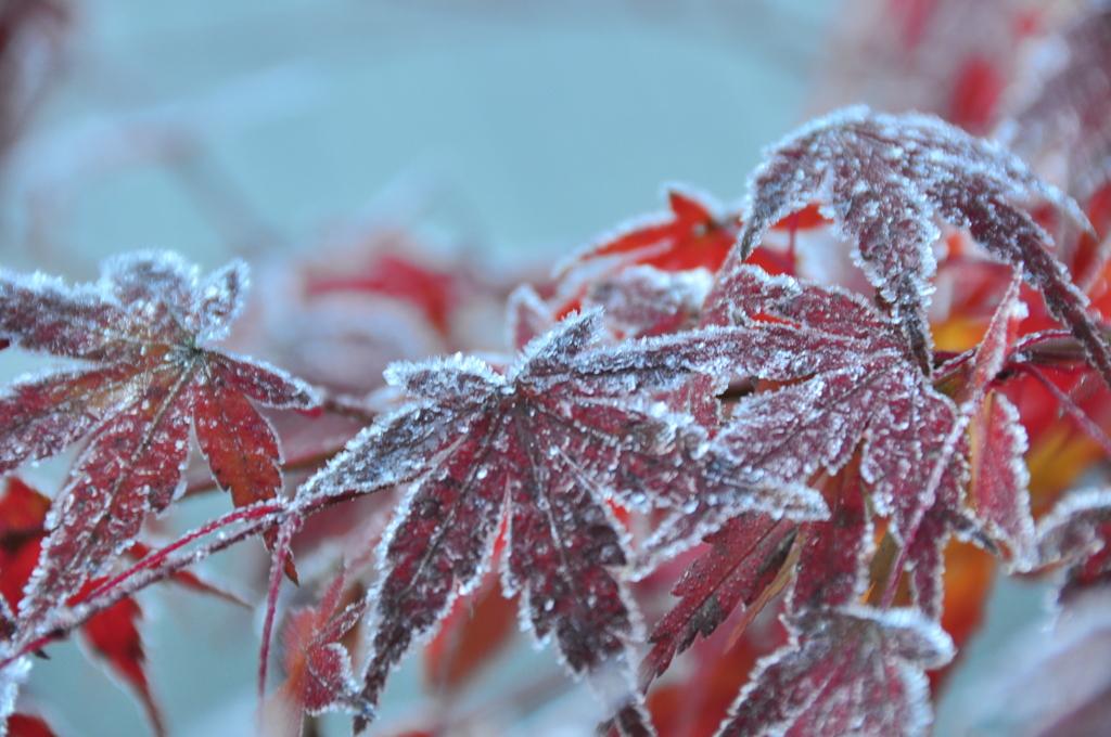 霜降りモミジ 1
