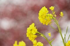 桜並木の菜の花