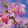 早咲きの桜-4