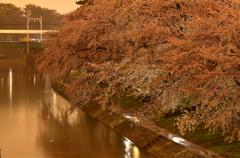 雨の桜道 part2