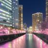 Sakura of winter