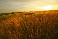 麦音ささやく丘の朝