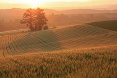 小麦畑の朝
