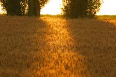 黄金色の朝