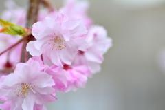 桜も後半戦