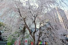 六角堂の枝垂桜