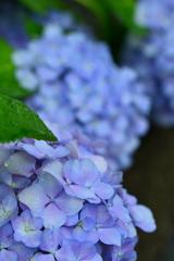 西院春日神社界隈の紫陽花