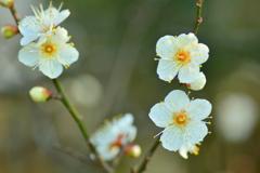 京都御苑の早咲き白梅