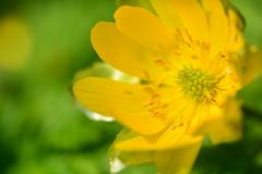 早春の福寿草