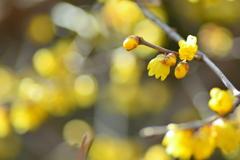 花壇の蝋梅2