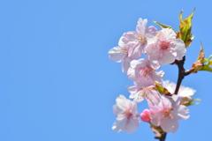 府立植物園の河津桜