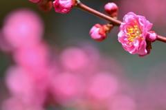 西院春日神社の紅梅