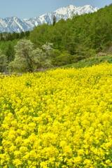 新行高原の春1