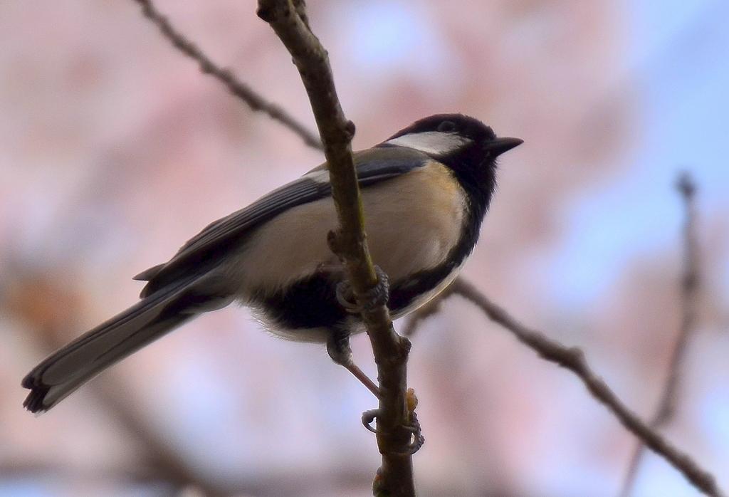 桜と四十雀2