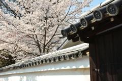 知恩院塔頭・良正院の桜