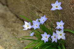 路傍の花韮