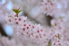 高原にも桜の波