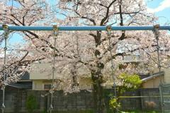 ブランコと桜