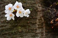 児童公園・一番槍の桜