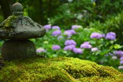 天龍寺曹源池庭園の紫陽花