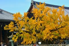 西本願寺の大銀杏4