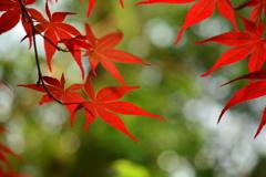 西院野々宮神社の野村紅葉