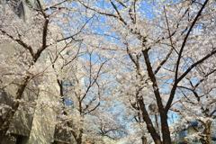 祇園白川の桜3