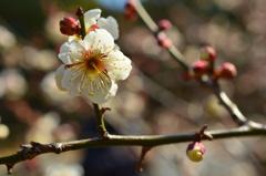 京都御苑の白梅2