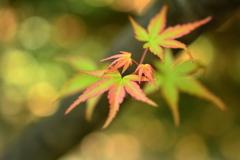 西院野々宮神社の青紅葉3