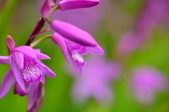 公園の紫蘭1