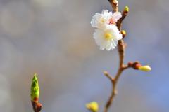平野神社・早咲きの桜