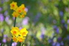 府立植物園の黄水仙
