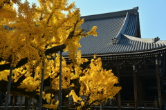 西本願寺の大銀杏6