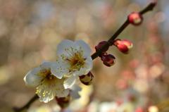 京都御苑の白梅1