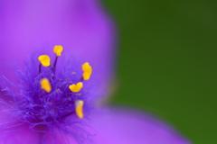 路傍の紫露草