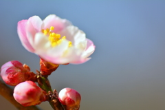 京都府立植物園の源平梅