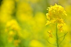 青梗菜の菜の花