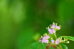 紫式部の小さな花
