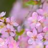 庭梅花盛り2