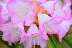 雨に石楠花