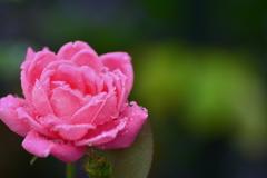 八月の雨と夏薔薇