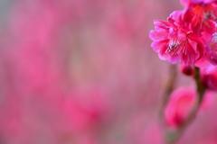 京都府立植物園の紅梅