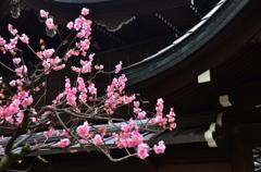 御香宮神社の梅