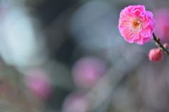 京都御苑の早咲き紅梅